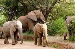 Elephants, Lake Manyara National Park Stock Photo