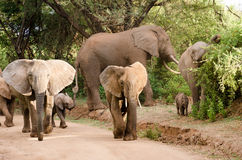 Elephants, Lake Manyara National Park Royalty Free Stock Photo