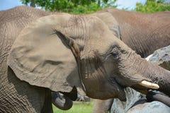 Elephants Stock Images
