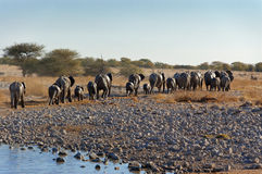 Elephants leaving waterhole Stock Photos