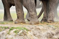 Elephant legs in Chobe National Park, Botswana Stock Images