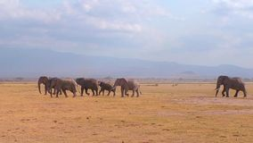 Elephants In A Line In The Plains Royalty Free Stock Photos