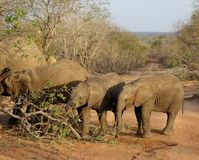 Elephants in line from the smaller to the bigger in the savanna. South africa Royalty Free Stock Images