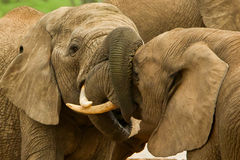 Elephants with locked trunks Stock Images