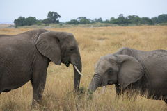 Elephants in the long grass Royalty Free Stock Photo