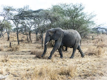 Elephants look for food at the trees in the serengeti Royalty Free Stock Photo