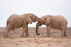 Elephants in love. Wild Elephants in love, Safari Etosha, Namibia Africa stock image