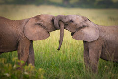 Elephants in love. Masai Mara, Kenya royalty free stock photography