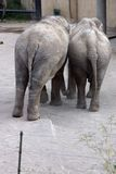 Elephants in Love. Two asian elephants leaning on each other Stock Photos