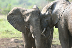 Elephants in love. Two lovely Elephants touching each other.  Hluhluwe-Umfolozi National Park. Zululand. South Africa Stock Photo