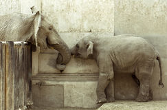Elephants' Love Royalty Free Stock Photos