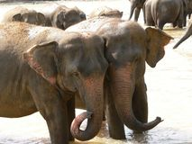 Elephants in love. They just love to snuggle up Royalty Free Stock Photo
