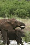 Elephants  (Loxodonta africana) Stock Photo