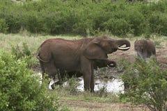 Elephants  (Loxodonta africana) Stock Photo