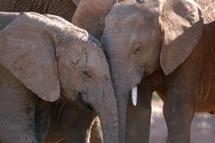Elephants (Loxodonta africana) Royalty Free Stock Images