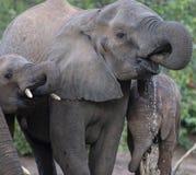 Elephants,Loxodonta africana, drinking water stock photography