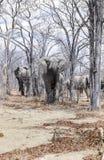 Elephants loxodonta africana, Hwange National Park, Zimbabwe, Africa stock images