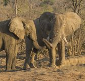 Elephants, Loxodonta, young bulls playing at waterhole stock image