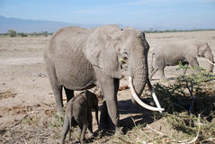 Elephants in The Maasai Mara National Reserve, Kenya Royalty Free Stock Photography