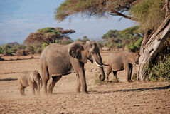 Elephants in The Maasai Mara National Reserve, Kenya Stock Photos