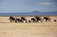 Elephants in The Maasai Mara National Reserve, Kenya Royalty Free Stock Images