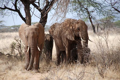 Elephants in The Maasai Mara National Reserve, Kenya Stock Photography