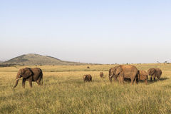 Elephants in Maasai Mara Park in Kenya Royalty Free Stock Photo