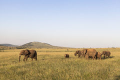 Elephants in Maasai Mara Park in Kenya Royalty Free Stock Photos