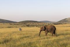 Elephants in Maasai Mara Park in Kenya Stock Photos