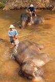 Elephants in Maesa Elephant Camp Royalty Free Stock Photo