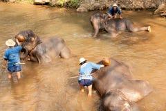 Elephants in Maesa Elephant Camp, Thailand Royalty Free Stock Image