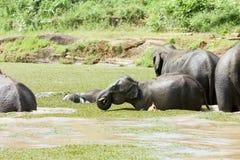 Elephants at Maha Oya. Cooling at Maha Oya - Sri Lanka, Asia royalty free stock image