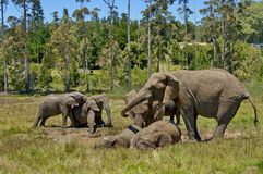 Elephants make mud bath in Chapel &Lapa reserve Royalty Free Stock Photo