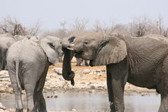 Elephants Making friends Royalty Free Stock Image