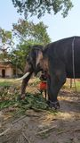 Mahout feeding Endangered Indian Elephant in Temple. royalty free stock photo