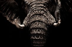 Elephants And Mammoths, Black And White, Head, Close Up royalty free stock photography