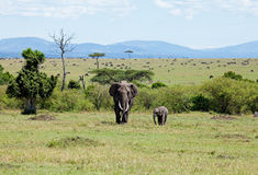 Elephants on the Masai Mara Royalty Free Stock Images