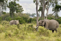 Elephants   in Masai Mara Stock Image