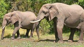 Elephants in Masai Mara. Elephants eating grass at noon in Masai Mara national park in Kenya stock footage