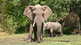 Elephants in Masai Mara. Elephants eating grass at noon in Masai Mara national park in Kenya stock video