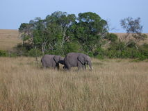 Elephants Walking Royalty Free Stock Image