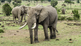 Elephants in Masai Mara National Park. Stock Photos