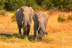 Elephants in Masai Mara Royalty Free Stock Images