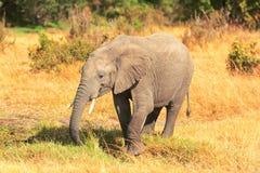Elephants in Masai Mara Royalty Free Stock Image