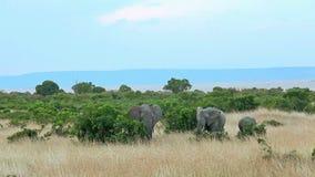 Elephants in Masai Mara stock footage