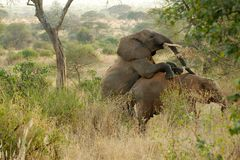 Elephants mating Stock Images