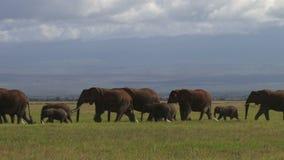 Elephants migrating stock footage
