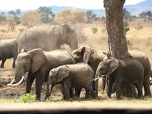 Elephants Mikumi National Park. Elephants family by Mikumi National park from Tanzania. Welcome to african wildlife Royalty Free Stock Images