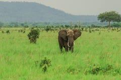 Elephants in the Mikumi National Park, Tanzania stock photo