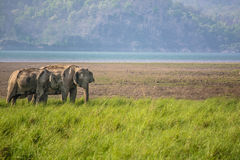 Elephants in morning Royalty Free Stock Photos